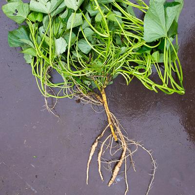 葉・茎に栄養が行き渡る「すいおう」